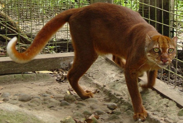 10-most-amazing-small-wild-cats-be-fascinated-with-the-elusive-bornean-bay-cat
