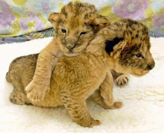 Baby ligers are delivered only through Caesarian deliveries