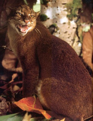 Borneo Bay Cat