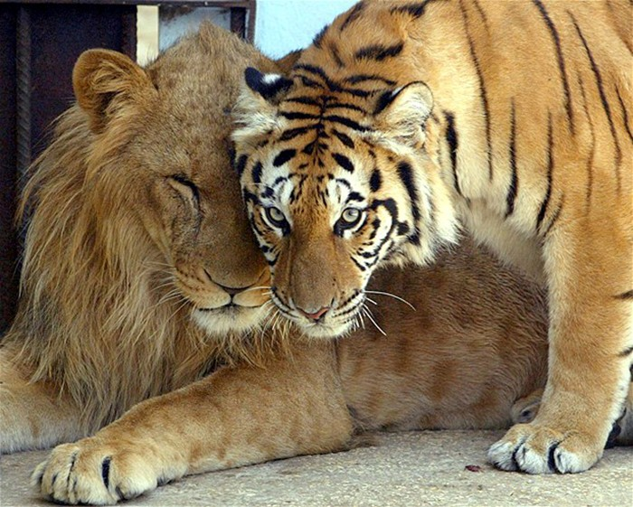 Ligers are the result of putting a Mama Tiger and and Papa Lion in one room