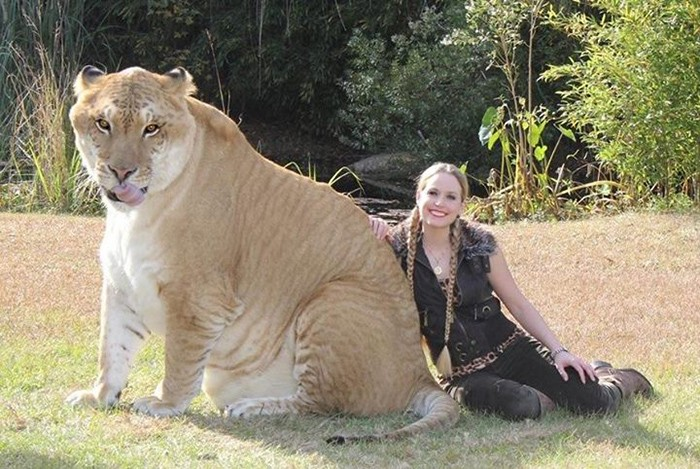 Ligers are thought to be the biggest cats in the world