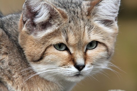 The Sand Cat